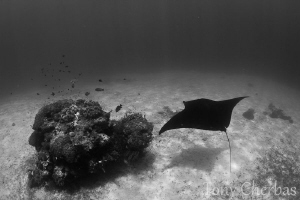 Manta stopping by for a cleaning. Shot in B+W by Tony Cherbas 